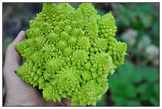 romanesco broccoli / cauliflower