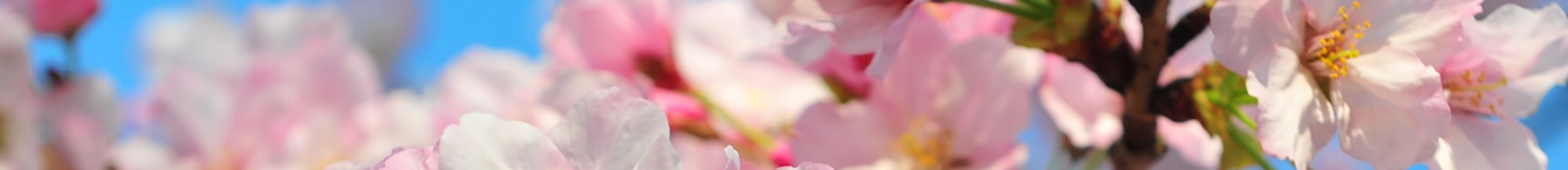 This image has an empty alt attribute; its file name is cherry-blossom-divder-1.jpg