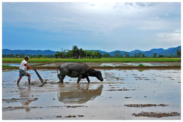 kalabaw _Filipino farmer plowing a rice paddy