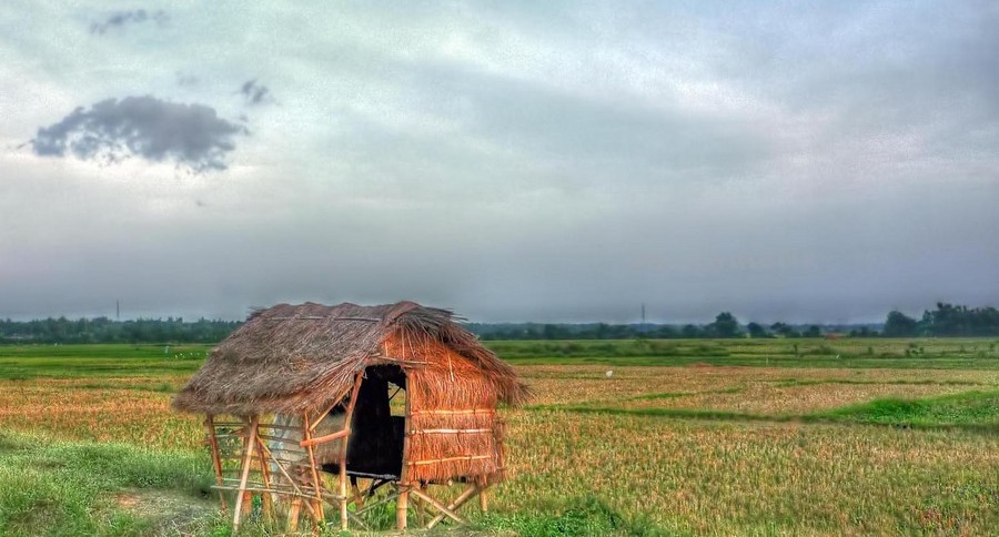 a cogon shack amidst a rice field