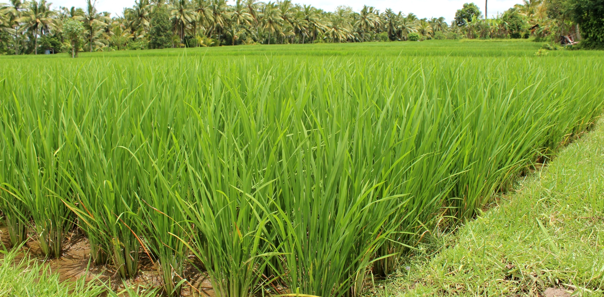 a well tended rice field