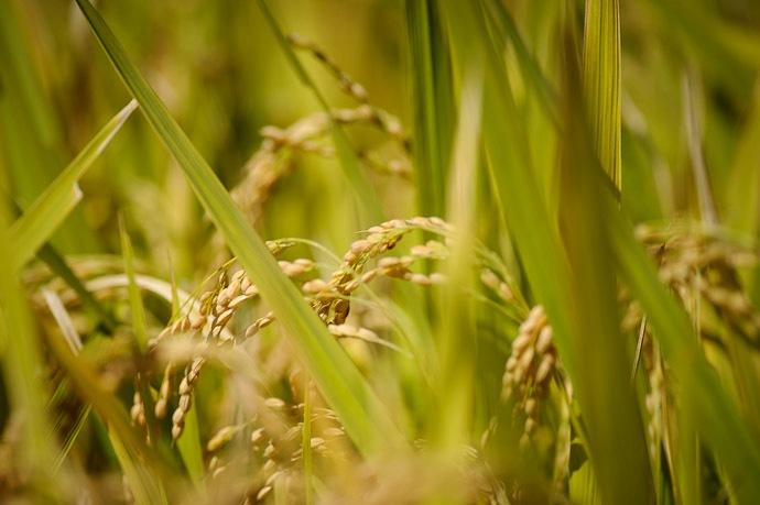 almost ripe rice grains