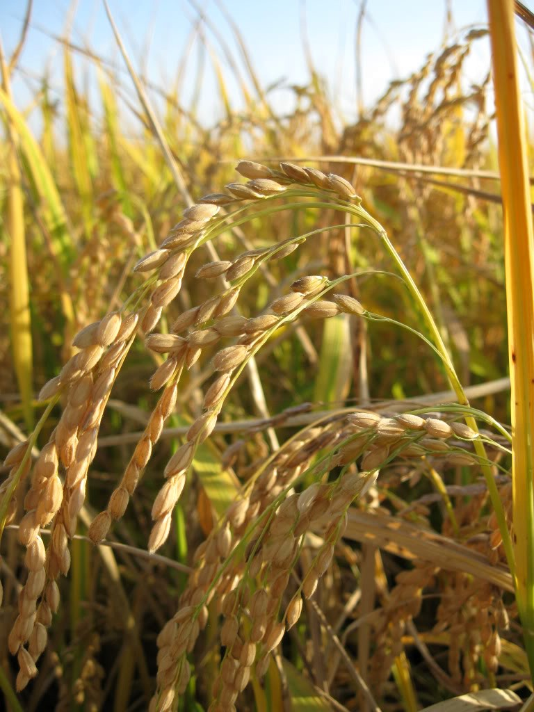 rice, almost ready to harvest