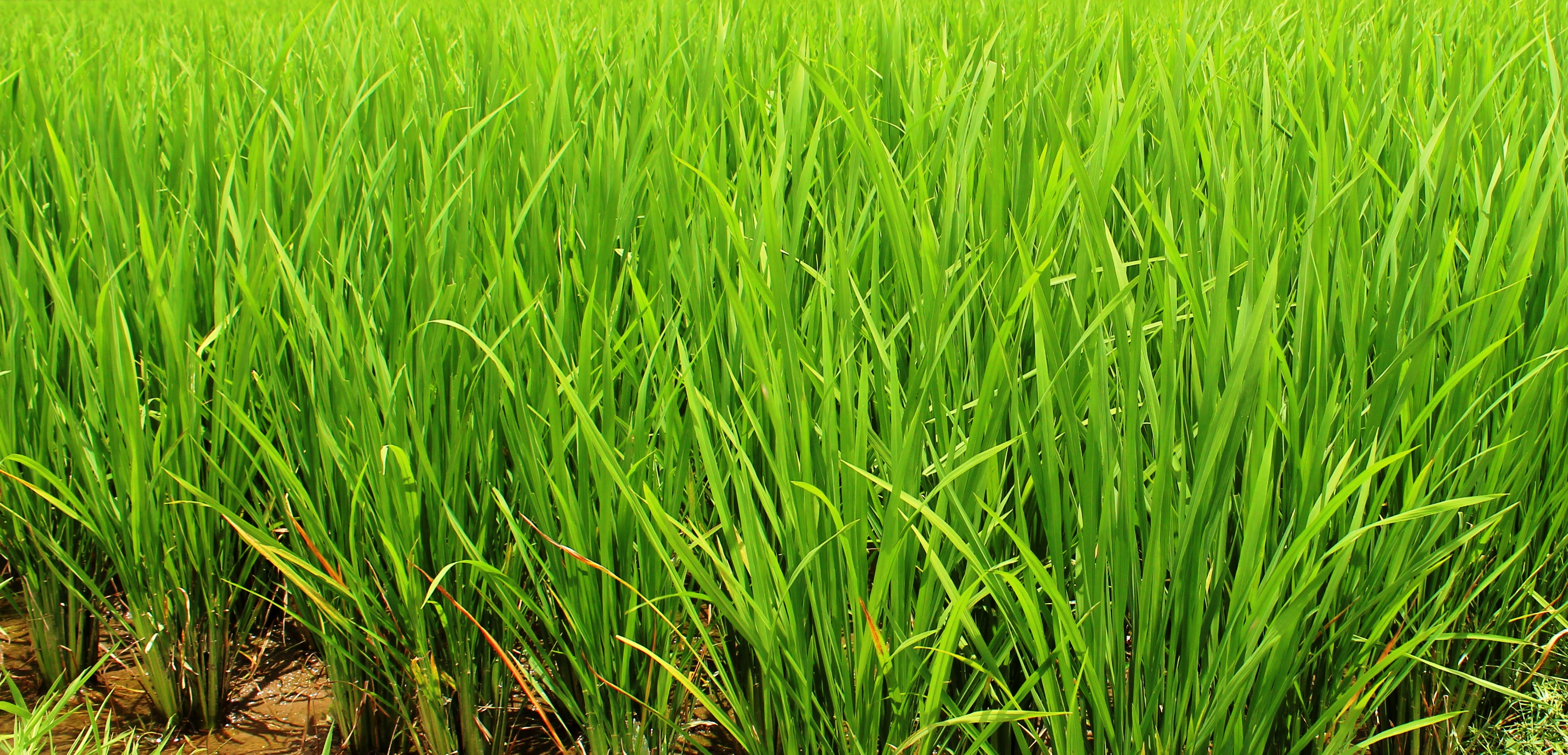 rice stalks almost with grains
