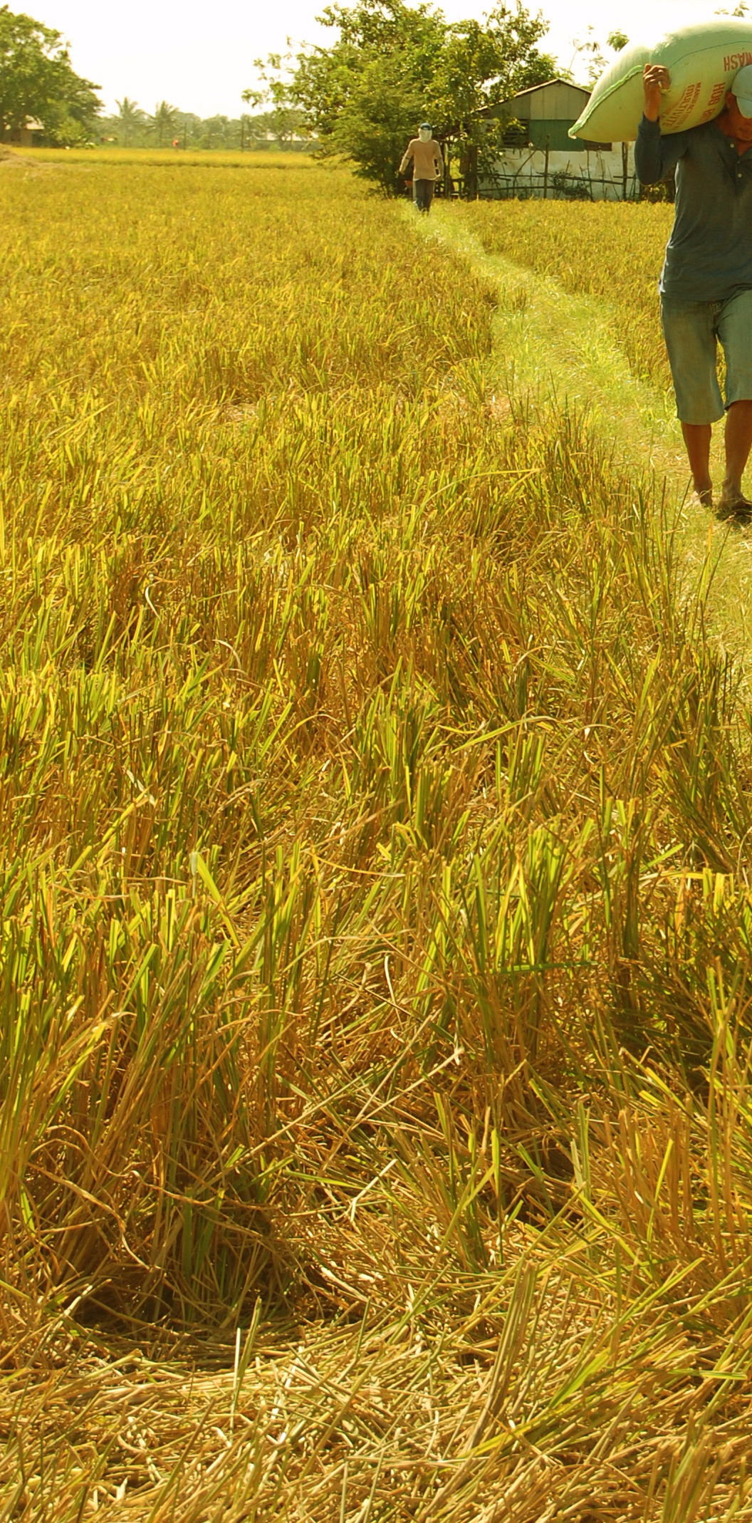 rice straw, after harvest