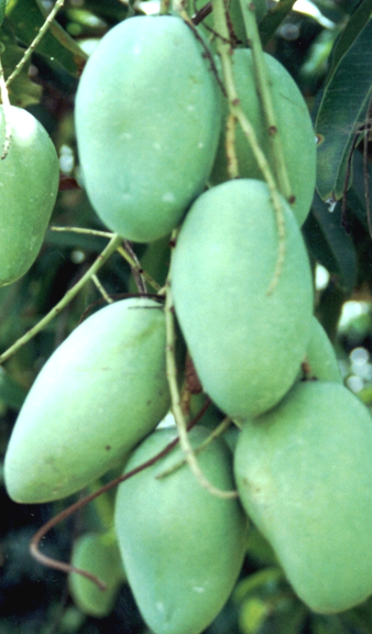unripe green mangoes