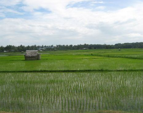 young rice plants, a watery rice paddy